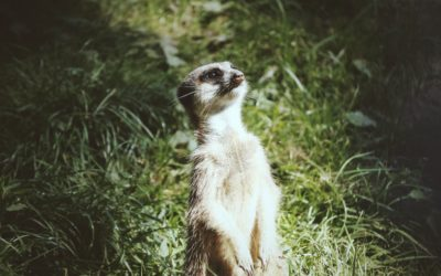 Meerkats who have more sex have been found to age faster!